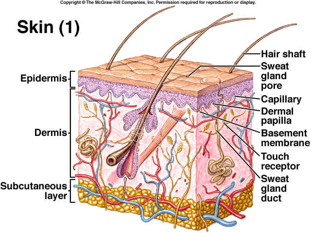 Integumentary System Health Sciences At Daily Life